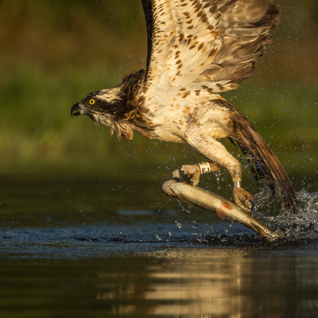 """Close up of Osprey emerging from water with fish"" stock image"