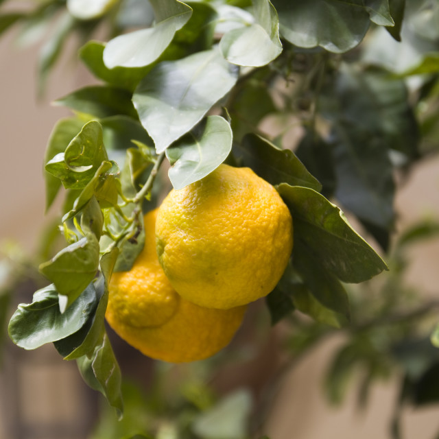 """Lemon tree"" stock image"