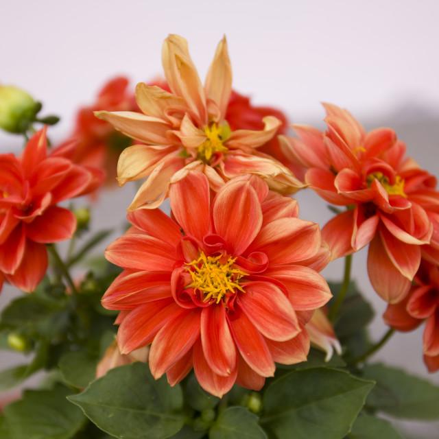 """Orange flower closeup"" stock image"