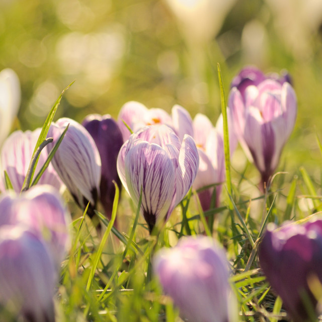 """Crocuses Flowering"" stock image"