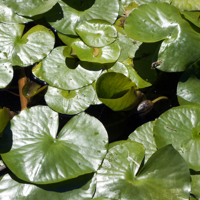 """""""Water Lilly Leaves"""" stock image"""