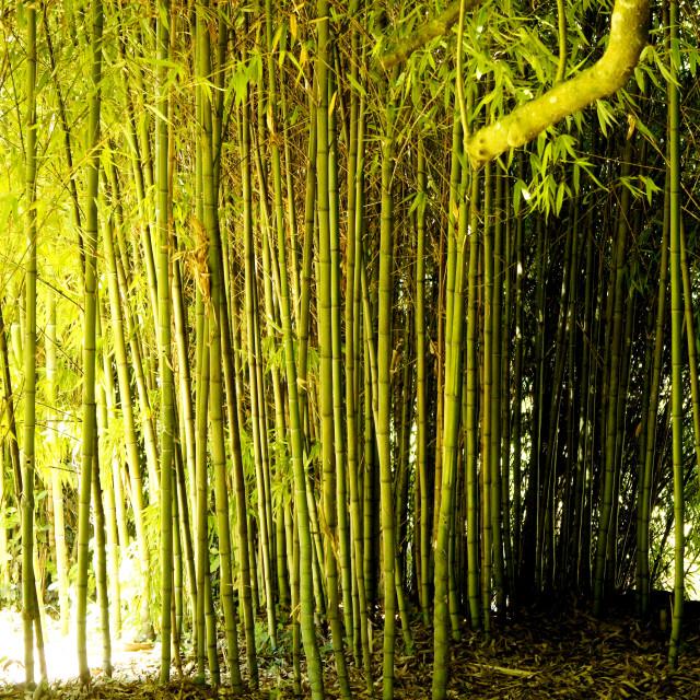 """Bamboo wallpaper"" stock image"
