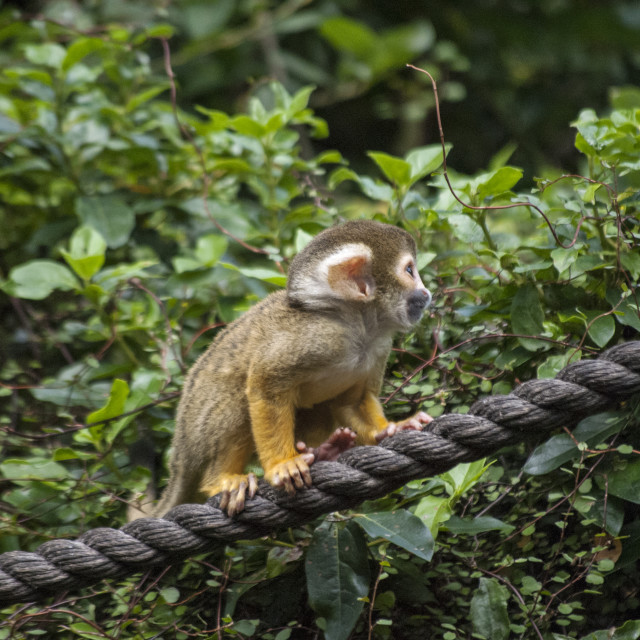 """Baby Squirrel Monkey!"" stock image"