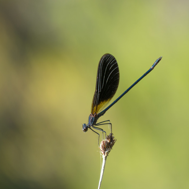 """Copper Demoiselles dragonfly"" stock image"