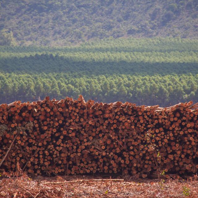 """""""Eucalyptus"""" stock image"""