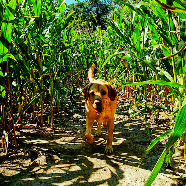 """Running through the corn field"" stock image"