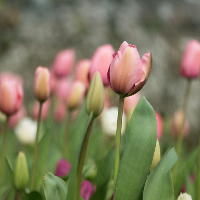 """Tulip Joy"" stock image"