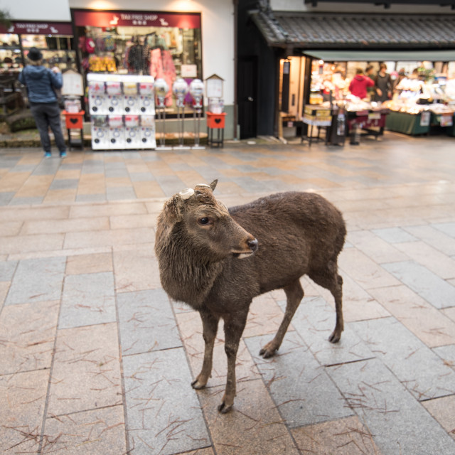 """Deer Of Nara Park"" stock image"