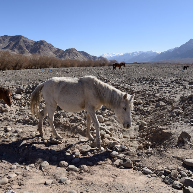 """horses around Indus River, Ladakh, India"" stock image"