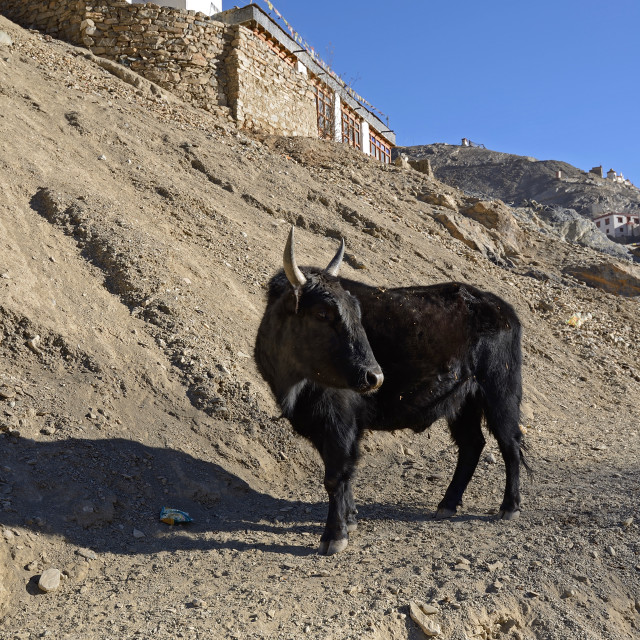 """Yak at Lamayuru, Leh Ladahk, India"" stock image"