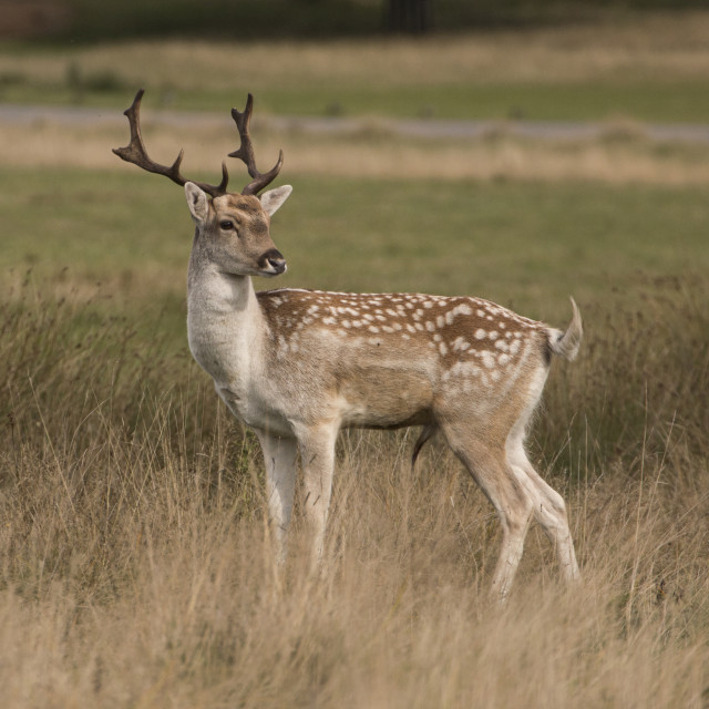 """""""Young fallow deer in a field"""" stock image"""