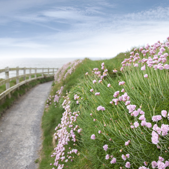 """""""pink wild flowers along a cliff walk path"""" stock image"""
