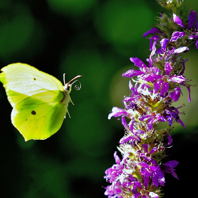 """A Brimstone butterfly"" stock image"