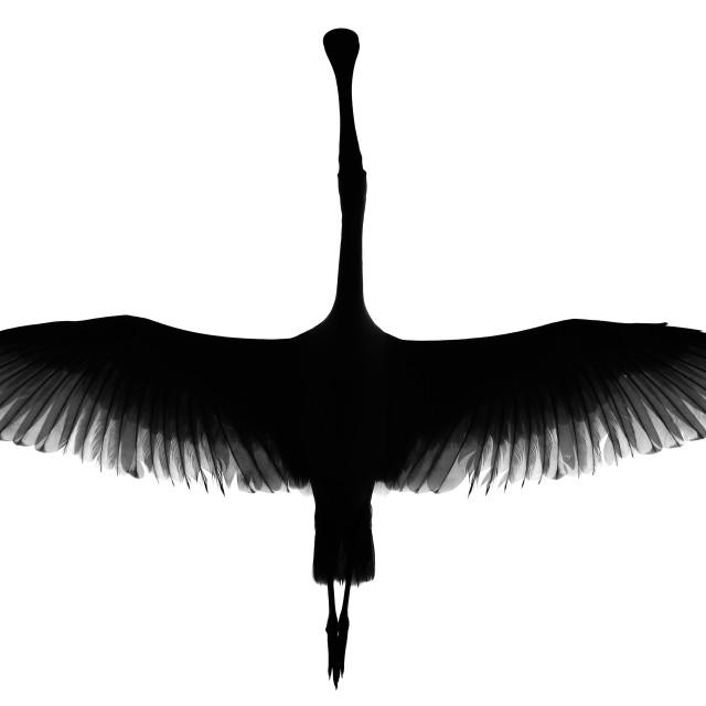 """""""Spoonbill in flight"""" stock image"""