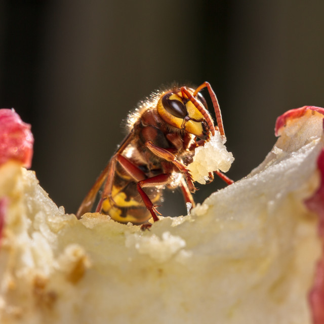 """""""An apple a day keeps the wasps away...."""" stock image"""