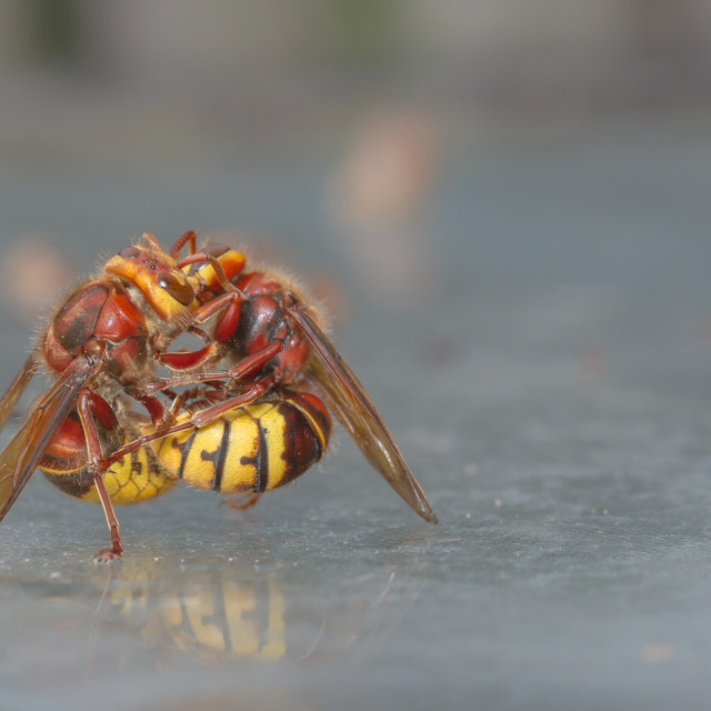 """European Hornet (Vespa crabro) - Mauling!"" stock image"