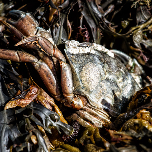 """Crab in Seaweed"" stock image"