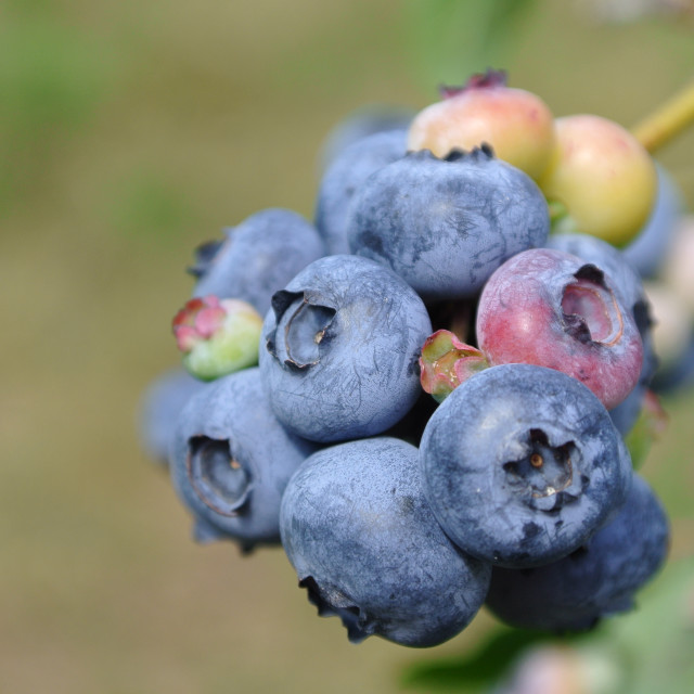 """Organic Blueberries"" stock image"