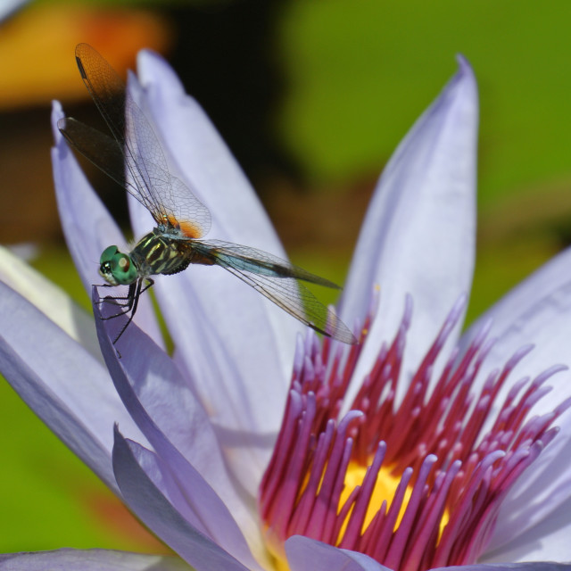 """Dragonfly on a lily"" stock image"