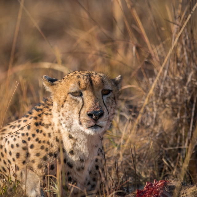 """Cheetah eating from a Reedbuck carcass in Kruger."" stock image"