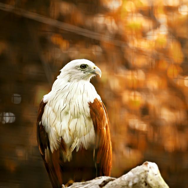 """""""Javanese Sea Hawk"""" stock image"""
