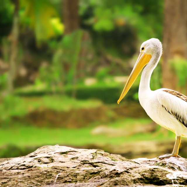 """Young Pelicans"" stock image"