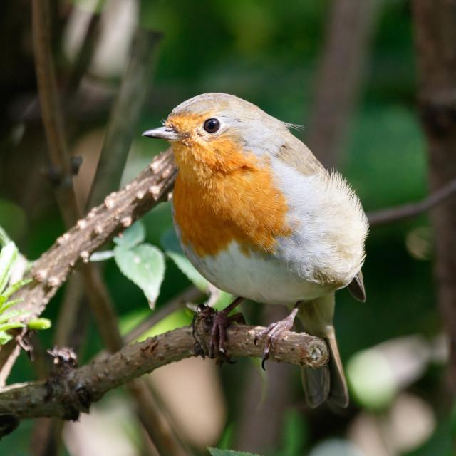 """Robin."" stock image"