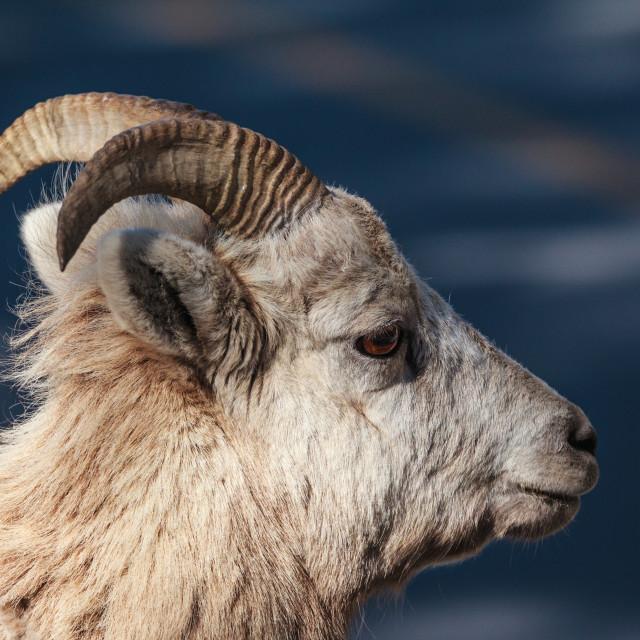 """Mountain Sheep"" stock image"