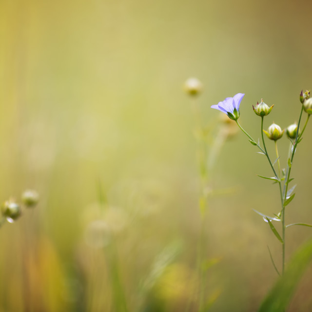"""Linseed in soft focus"" stock image"