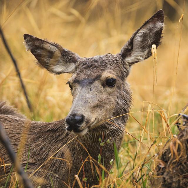 """""""Mule Deer"""" stock image"""
