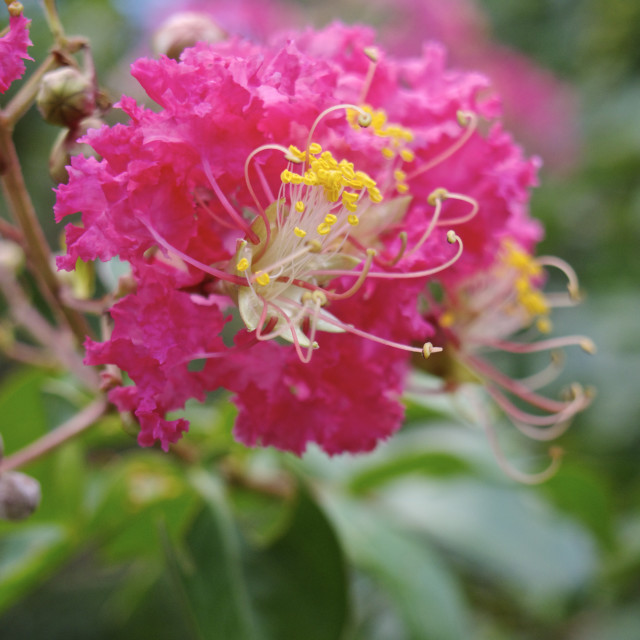 """Flower of the crape myrtle"" stock image"
