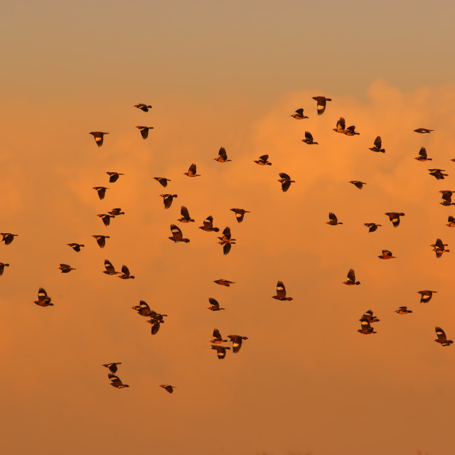 """Flock of birds at evening"" stock image"