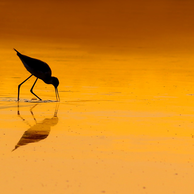 """bird at Sunset"" stock image"
