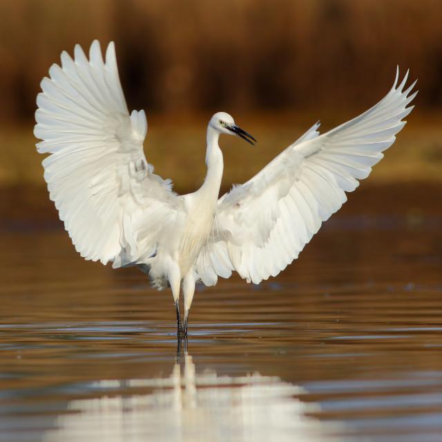 """""""Little Egret Dance in the Morning"""" stock image"""