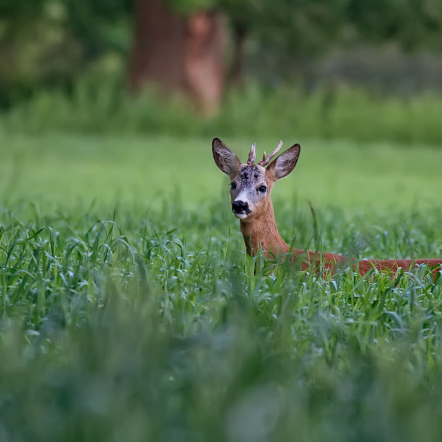 """""""Buck deer in a clearing in the wild"""" stock image"""