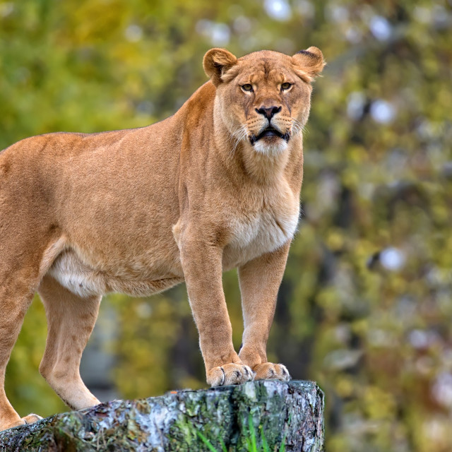 """Lioness in the wild"" stock image"
