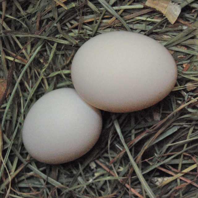 """Two Eggs"" stock image"