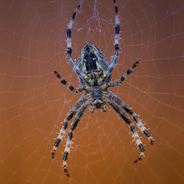 """Common Spider"" stock image"