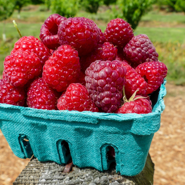 """Raspberries inside green container"" stock image"