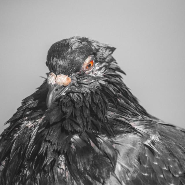 """Pigeon Portrait"" stock image"