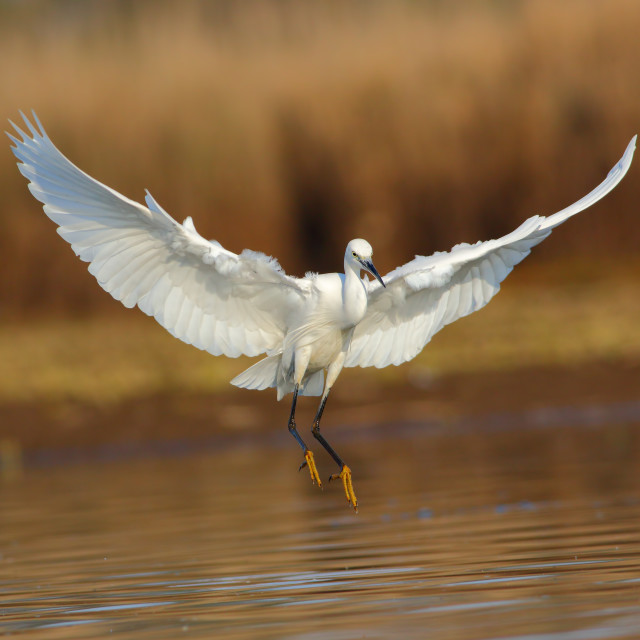 """Little egret landing"" stock image"