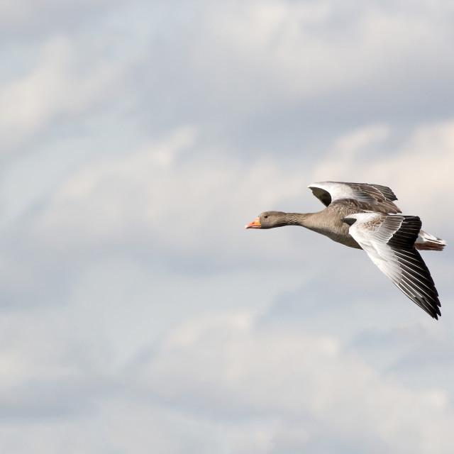 """Greylag Goose in Flight."" stock image"