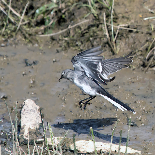 """""""Pied Wagtail juvenile."""" stock image"""