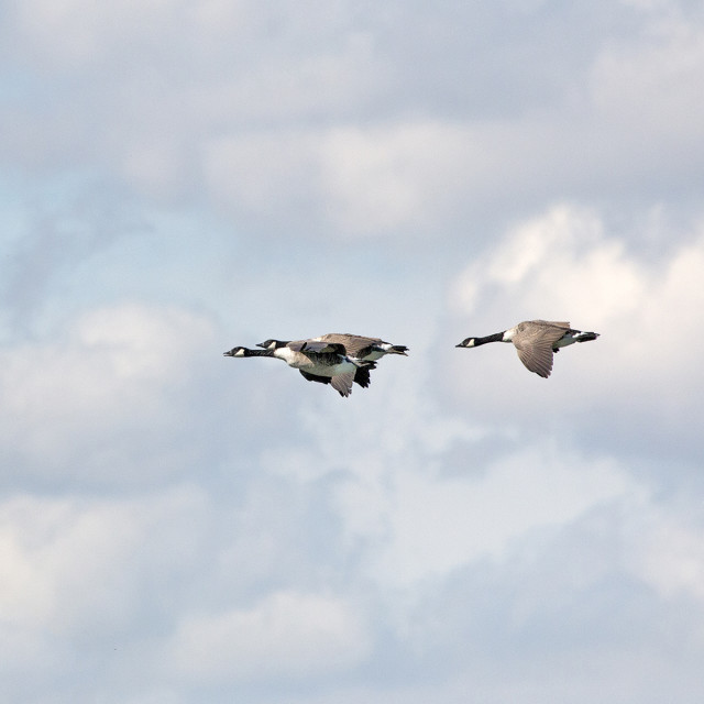 """Canada Geese in Flight."" stock image"