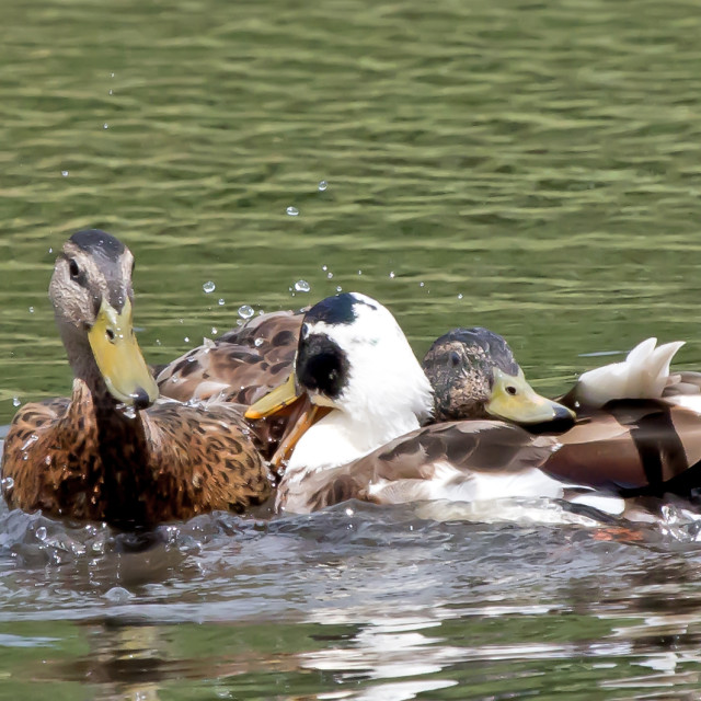 """Duck Fight."" stock image"