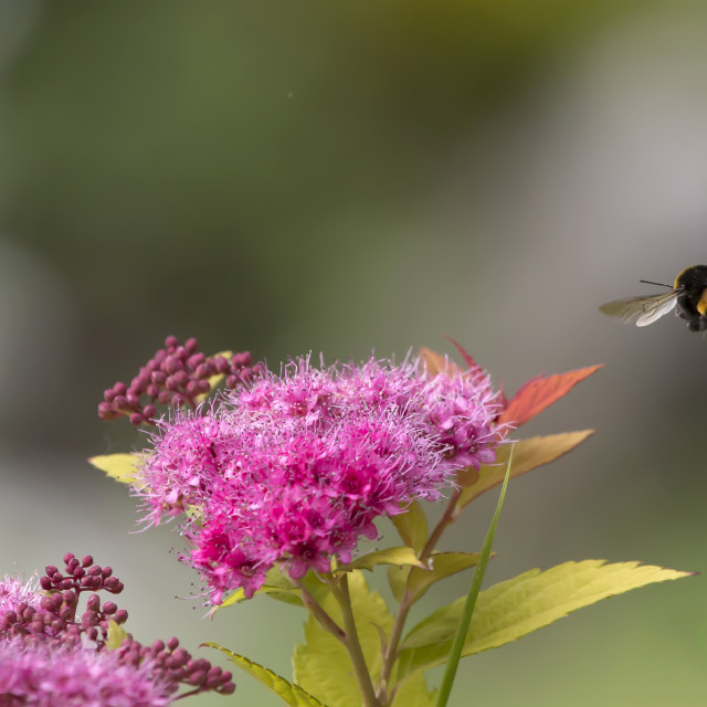 """Bee and Flower."" stock image"