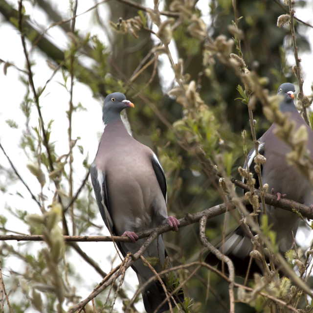 """Two Wood Pigeons in a Tree."" stock image"