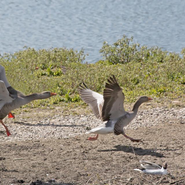 """""""Greylag Goose Chase."""" stock image"""