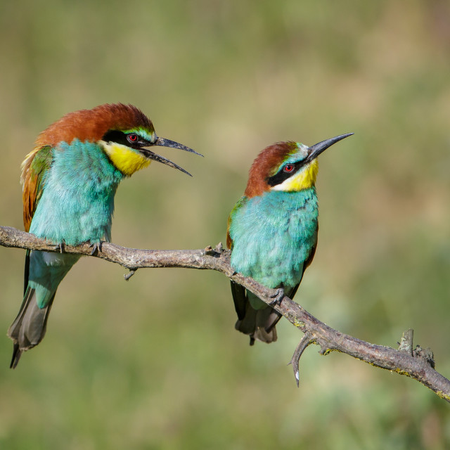 """Pair of European Bee-eaters"" stock image"