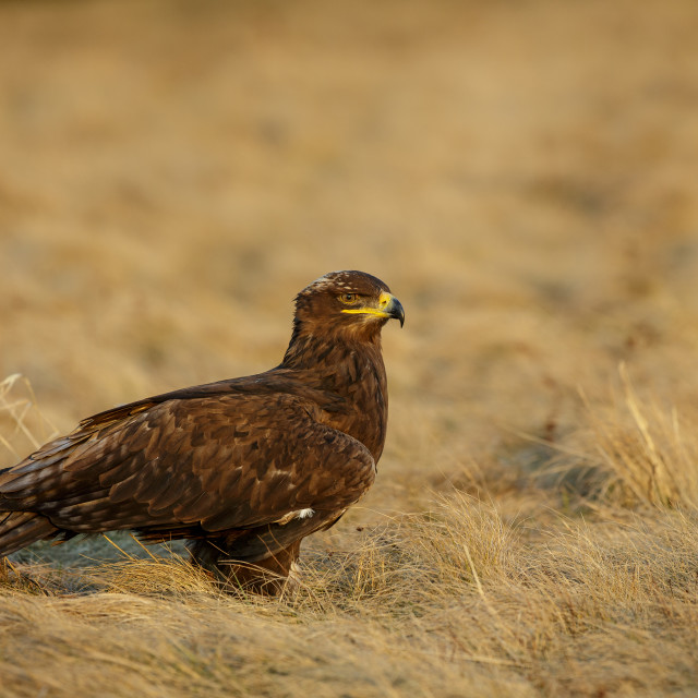 """Steppe Eagle sitting on the ground"" stock image"